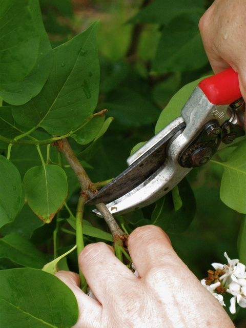 How to Propagate Lilacs by modernhousewife #Lilacs #Propagating