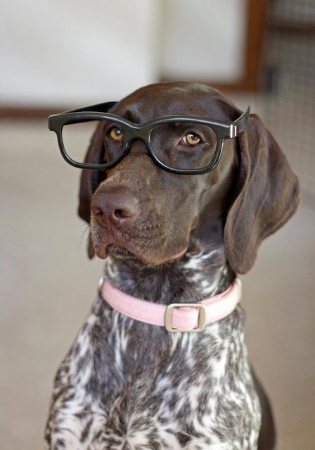"""GSP- This guys shoudl have a conversation with my German Shorthaired Pointer Plato and maybe the two of them can solve the meaning of life.. though I'm pretty sure they'd end up telling us """"bacon."""""""