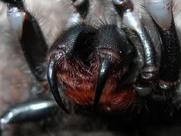 Sydney Funnel Web Spider  *Deadly*