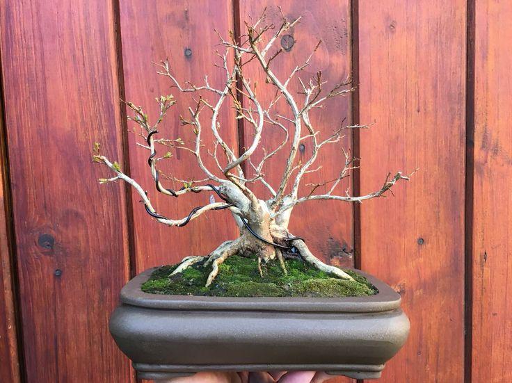 Pride of India (crepe myrtle) bonsai www.facebook.com/KirakuBonsai