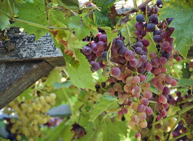 1000 id es propos de pied de vigne sur pinterest for Conseil plantation jardin