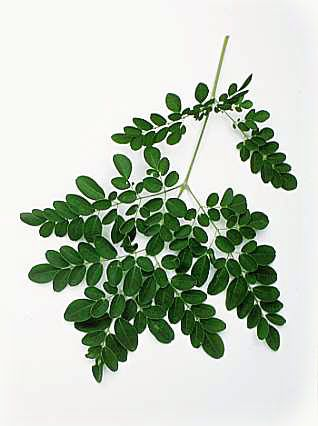 moringa oleifera as an alternative detergent Keywords: amino acids, crude fat, crude protein, moringa oleifera, ruminant  introduction  of dm, cp, neutral detergent fibre (ndf), om and energy ( aregheore  leaf meal was evaluated as an alternative protein source for nile  tilapia.