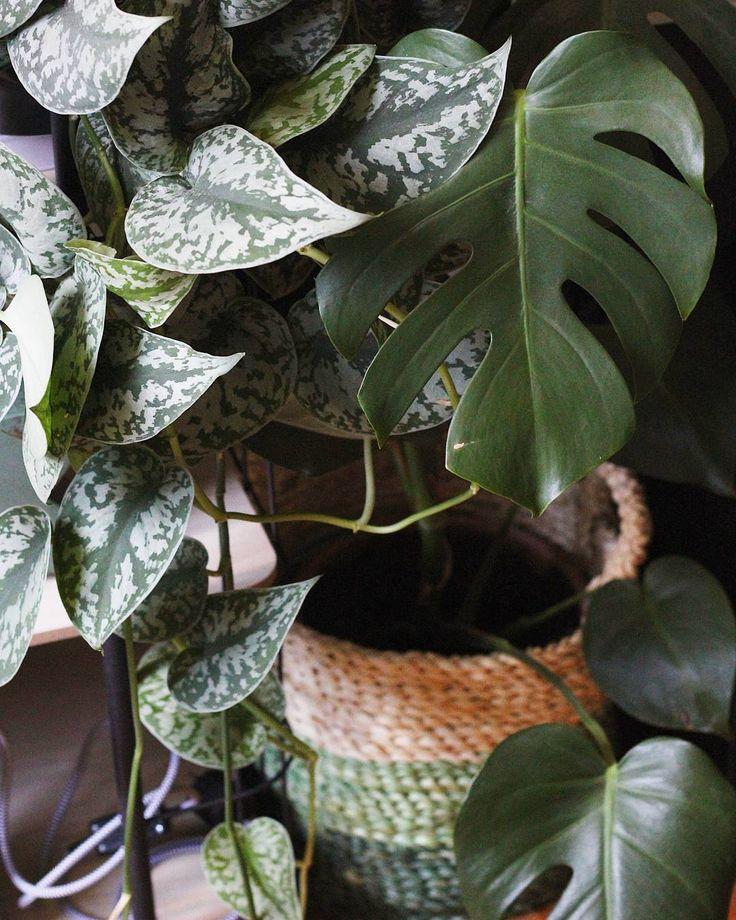 #kwantum repin: Mand AVIANO > https://www.kwantum.nl/wonen/decoratieve-opbergers/manden @plantenfestijn - Een echte jungle! De #monsteradeliciosa heeft een nieuwe mand gekregen, groen natuurlijk ! Voor €6 gevonden bij @kwantum_nederland !