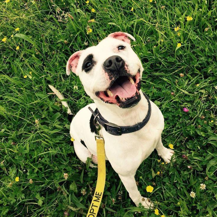 Another of beautiful Bella #happystaffierescue #staffordshirebullterrier #staffords #staffy #bullbreed #happystaffie