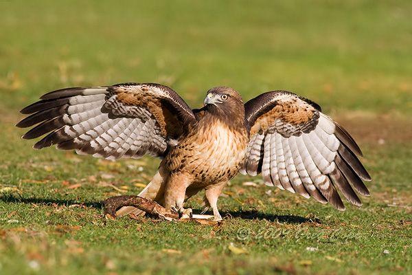 Que envergadura! Falcão vermelho de cauda avalia material para fazer seu ninho. Ele e seu companheiro passaram uma manhã no Parque Shoreline coletando material para um ninho. Mountain View, Califórnia, USA.  Fotografia: Greg Cope.