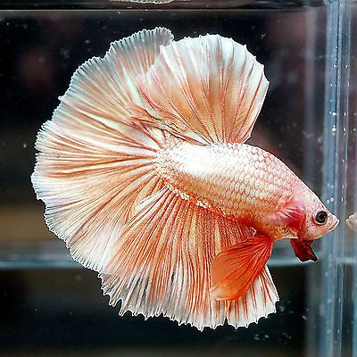 how to take care of a male betta fish