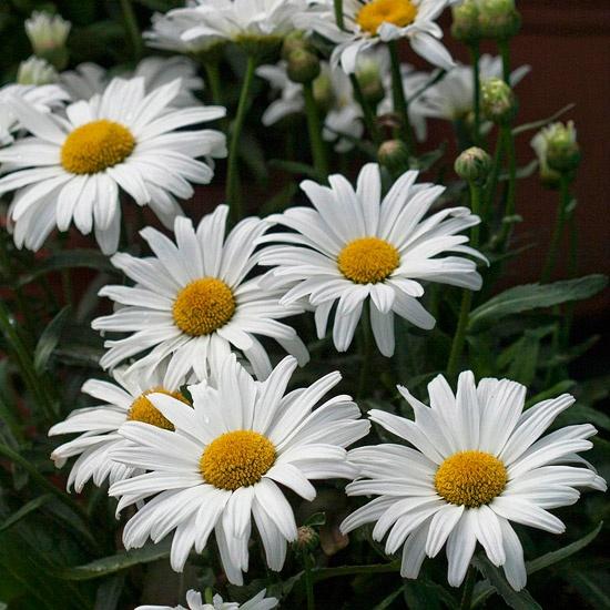 Daisy May Shasta DaisyHeat Tolerant Plants, Cottages Gardens, Favorite Things, Favorite Plants, Beautiful Flowers, Gardens Shasta Daisies, Purple Flower, Daisies Plants, Favorite Flower