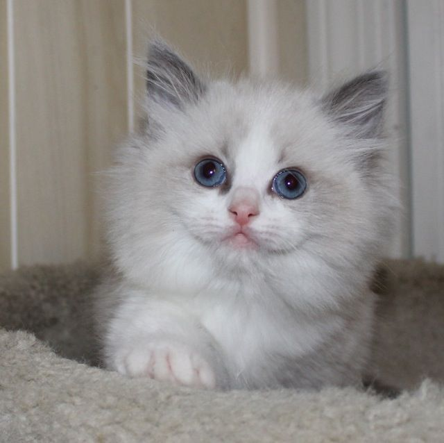 Ragdoll Cats Ragdoll Kittens by LottaRags Ragdoll Cattery - Available Ragdoll Kittens