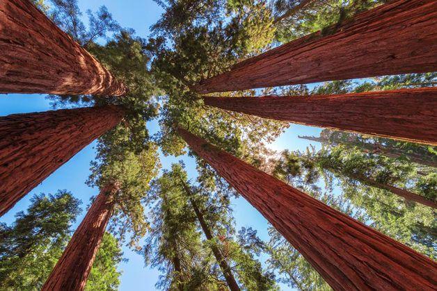 Decifrar os mistérios de um dos maiores, mais imponentes e antigos seres vivos do planeta Terra é a tarefa a que um grupo de cientistas norte-americano se propôs. Trata-se das Sequóias gigantes e das uma árvore encontrada na Califórnia e no sul do estado do Oregon, nos EUA, capaz de viver por mais de 3 mil anos e alcançar alturas que se aproximam dos 100 metros, muitas vezes com mais de 30 metros de circunferência. Para responder como são capazes de resistir ao longo dos séculos e alcançar…