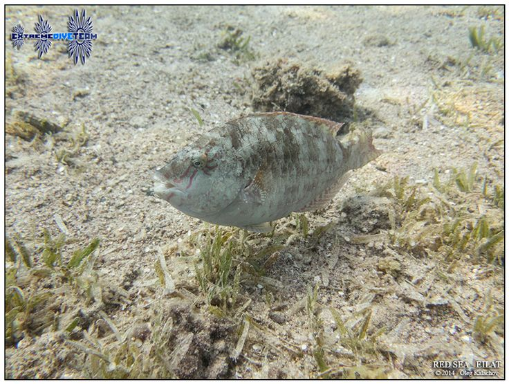 Подводная фотография - Дайвинг в Израиле - Красное море - Эйлат (3)