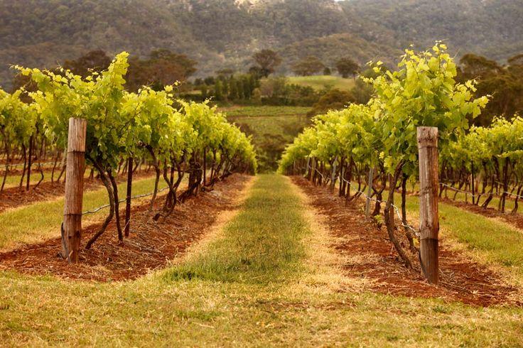 #HunterValley #NSW #Australia #WineCountry #Vineyards #Wine #Grapes