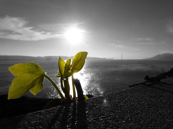 The sun setting over San Francisco bay area with a plant in the foreground of the image. Want this picture printed on canvas or cards etc? Click on the image :)