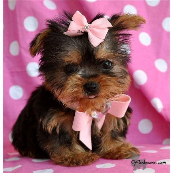 How Much Are Yorkies Dogs - Goldenacresdogs com