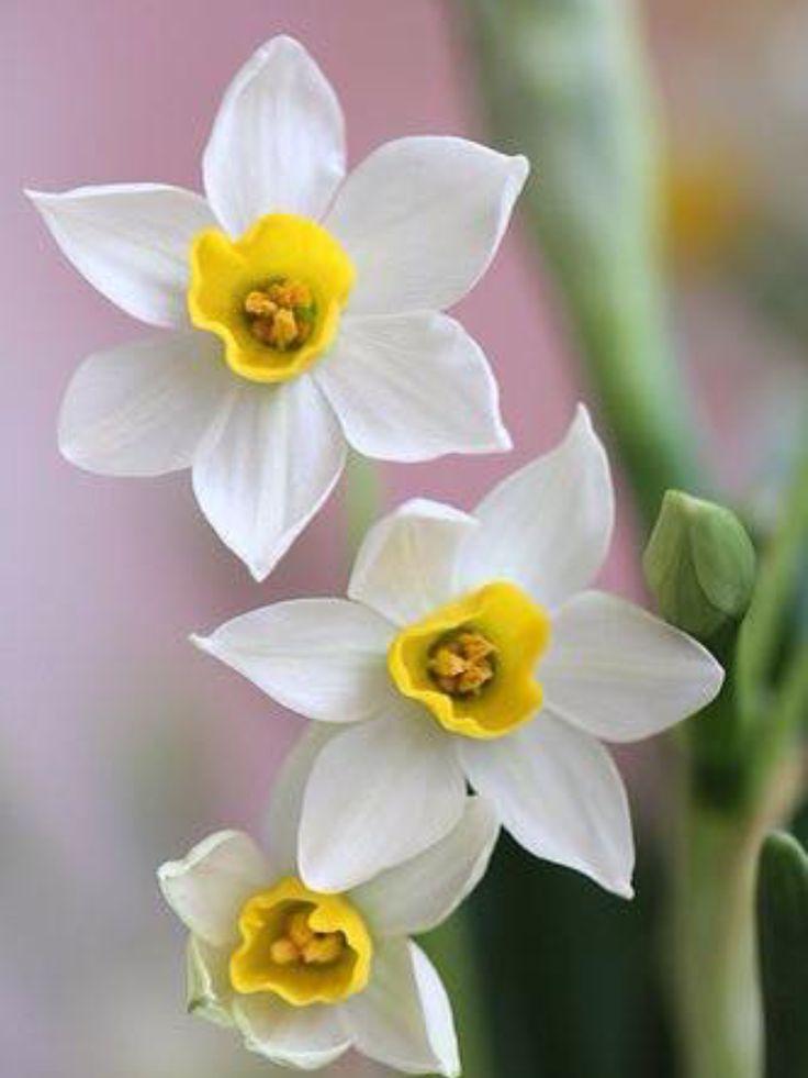 Narciso....ricordo d'infanzia. Daffodil. Narciso: es un género de la familia Amaryllidaceae originario de la cuenca mediterránea y Europa. Comprende numerosas especies bulbosas, la mayoría con floración primaveral, aunque hay algunas especies que florecen en el otoño.  Nombre científico:Narcissus. SB