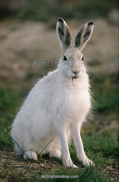 artic hare | Arctic Hare, Lepus arcticus in summer coat, Ellesmere Island . Nunavut ...