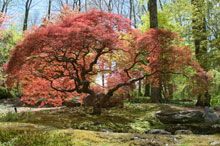 Red Dragon Japanese Maple: Hardy in zones 5-8, Maturing 8-10 ft, great for small area.  Needs well drained soil.