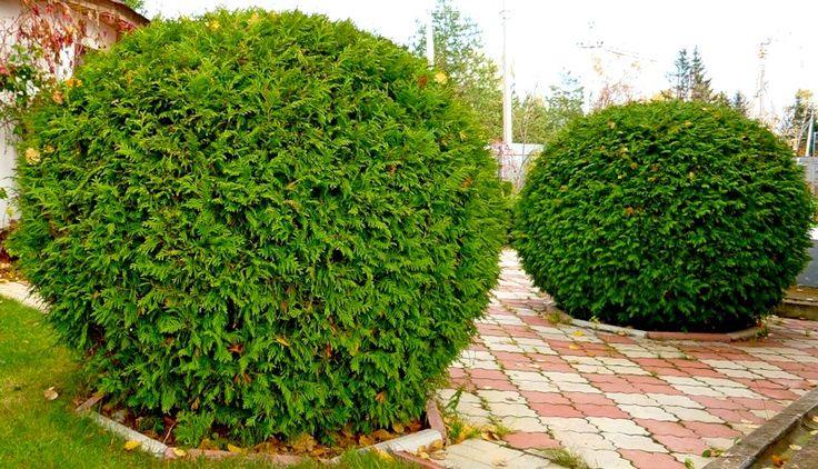 >Великолепный хвойный сад!. Обсуждение на LiveInternet - Российский Сервис…
