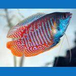 Betta, Gourami & Paradise Freshwater Aquarium Fish for Sale at azgardens.com