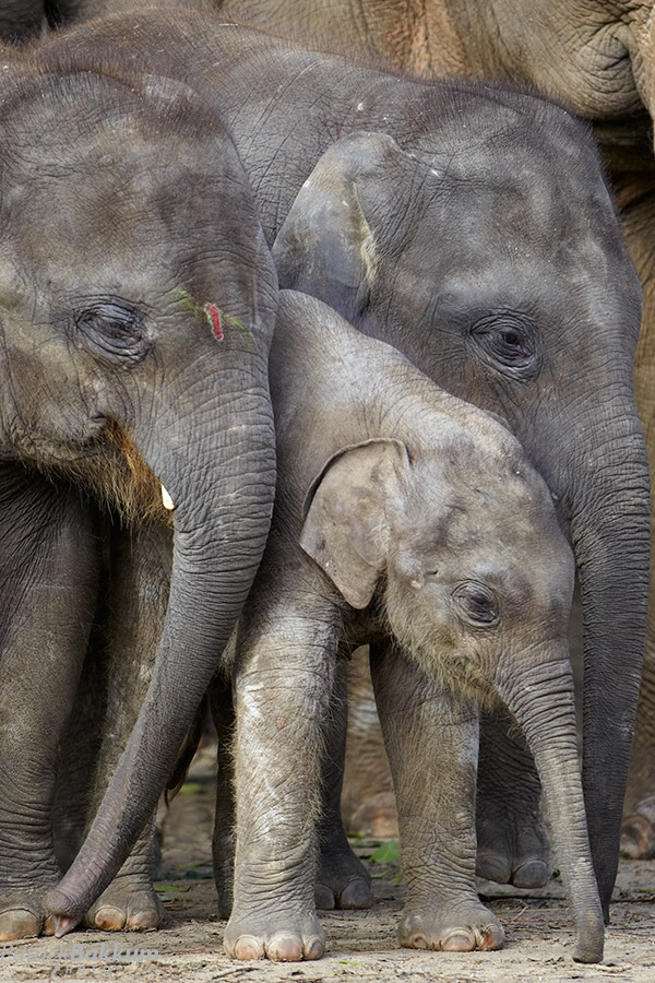 Cool 17 Best Images About Elephants African Elephant Loxodonta Hairstyles For Women Draintrainus