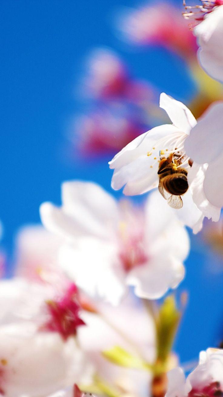 Stunning Spring Screensavers iPhone 6 Plus Wallpaper 21558 - Flowers iPhone 6 Plus Wallpapers #Animals #iPhone #6 #Plus #Wallpapers #Bee