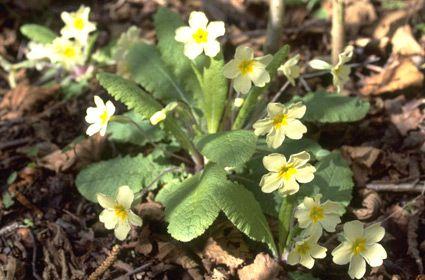 Primula vulgaris. Credit: RHS