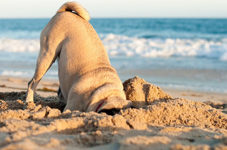 pug in the sand: At The Beaches, Puggi, Dogs Quotes, Pet Photography, Sands Castles, Beaches Pugs, Dog Quotes, Pugs Life, Animal