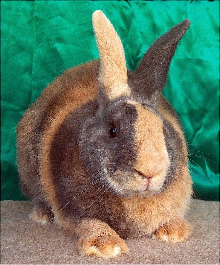 RAZAS DE CONEJOS  Actualmente existen 47 razas de conejos, según indica la A.R.B.A. (Asociación Americana de Criadores de Conejos), ...