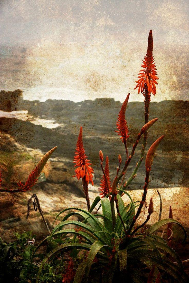 Aloes, Tsitsikamma National Park, South Africa