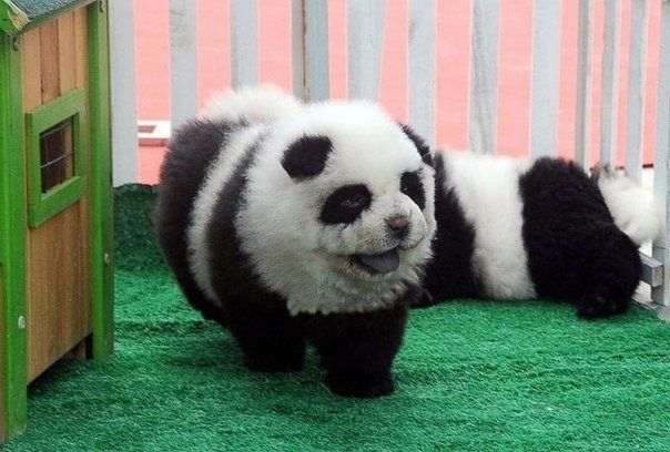 Щенки чау-чау, которые выглядят как панды