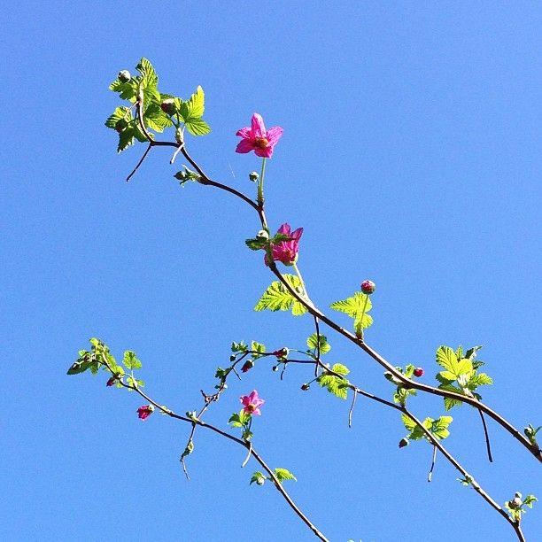 Pretty Salmonberry now blooming, with bluesky bonus! instagram by @fernwoodsy
