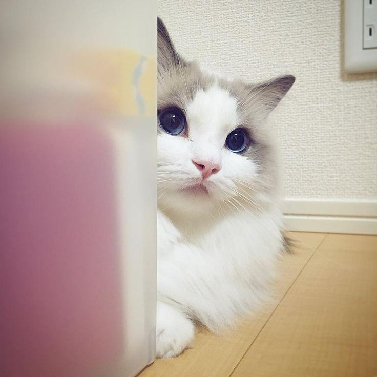 みーちゃったみーちゃった♪ ちゅーる隠してるとこみーちゃった♪😁🐠 #ragdoll #ragdollcat #ragdollsofinstagram #instaragdoll #instacat #instagramcats #catsofinstagram #catlove #adorable #aww #pet #cat #neko #ラグドール #猫 #ネコ #ねこ #ねこ部