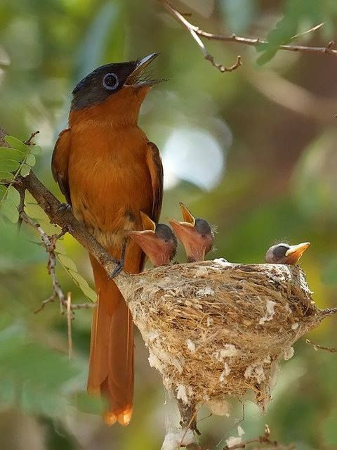Madagascar Paradise-Flycatcher singing with chicks