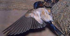 http://duniacaraternak.blogspot.com/2016/10/trik-cara-budidaya-burung-walet-untuk-pemula.html