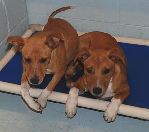 Still in need of an adoption/rescue commitment D-0054 Beagle/Shepherd Mix, tan and white, young adult, male, stray, approx. 30lbs, friendly, came with D0055  D-0055 Beagle/Shepherd Mix, tan and white, young adult, female, stray, approx. 25lbs, friendly, came with D0054