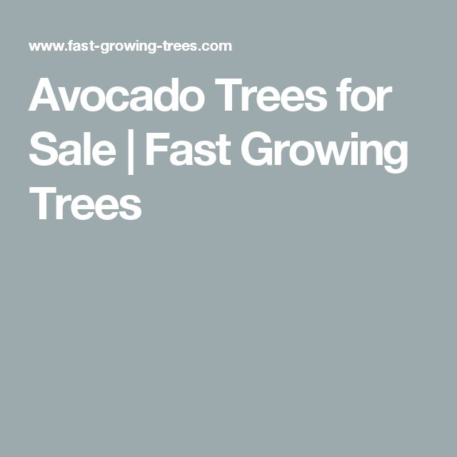 Avocado Trees for Sale | Fast Growing Trees