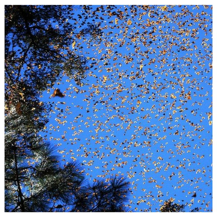 Monarch Butterflies. Fact 3 of 3.  While Monarchs may seem small and insignificant, the creatures play a crucial role in the ecosystems they inhabit.  As adults, monarch butterflies visit countless numbers of wildflowers each year as they seek out nutrient-rich nectar. In doing so, the monarchs transfer pollen from one plant to another and assist in those species' reproduction.