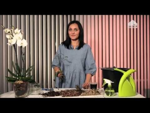 Проблемы при выращивании орхидей.Телеканал Бобёр ТВ.
