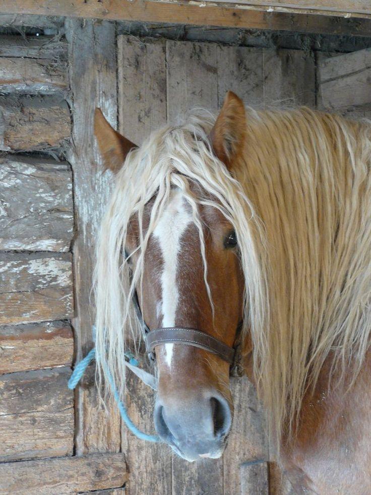 Ardenner stallion, Piraten, Sweden