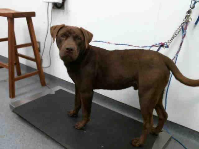 Labrador Retriever Dog For Adoption In Tulsa Ok Adn 811563 On