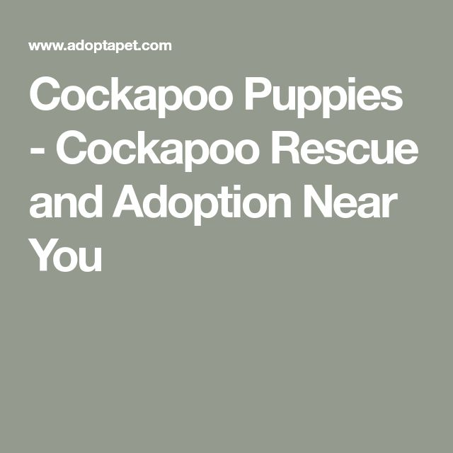 Cockapoo Puppies - Cockapoo Rescue and Adoption Near You