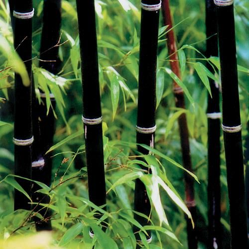 I WANT THIS!!!!! Phyllostachys nigra (Black Bamboo). Expected Height: 20 to 35 feet Diameter: 2.25 inches