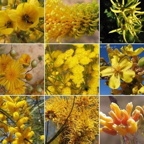 Wildflower Yellow Shades Mix Seeds (200+Seeds)