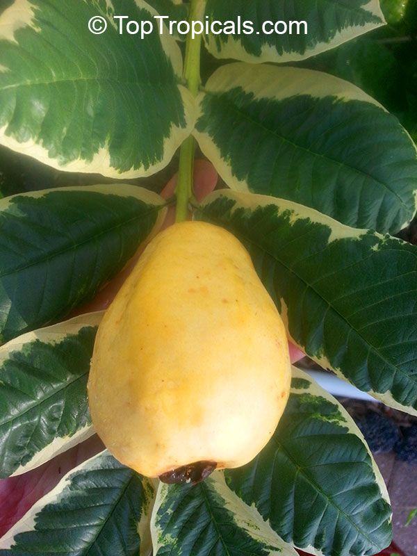 how to grow yellow sapote