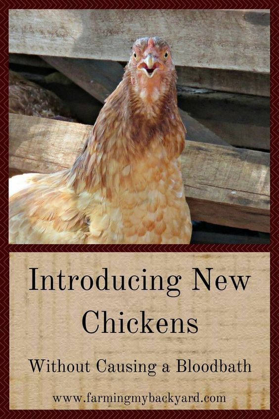Did you know chickens can kill each other? Make sure you are introducing new chickens safely by following these simple tips.