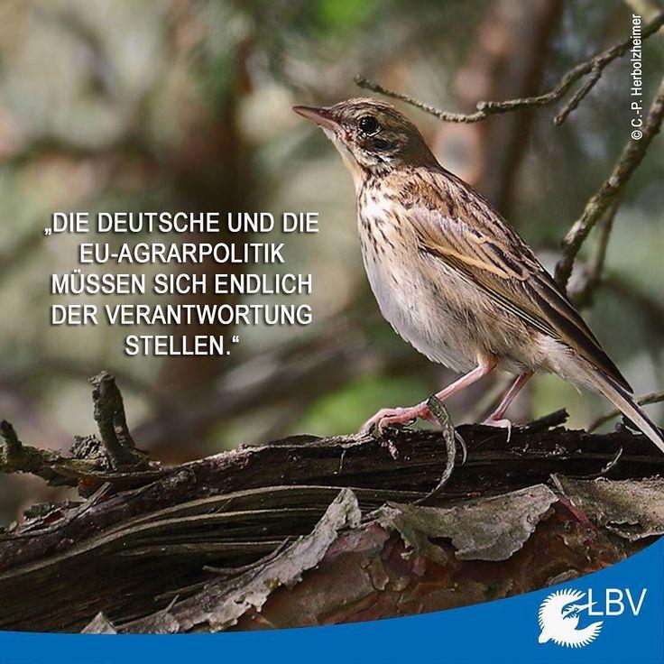Gestern ist die neue Rote Liste der #Brutvögel Deutschlands erschienen und es sieht nicht gut aus. Gerade die im Offenland brütenden Vogelarten haben es aufgrund der intensiven #Landwirtschaft immer schwerer noch genügend Brutplätze und Nahrung zu finden. Mehr dazu findet ihr auch www.lbv.de  #wiesenpieper #meadowpipit #roteliste #vogel #vögel #gefährdet #bird #birds #vogel #farmlandbirds #commonfarmlandbirds #natur #nature #naturschutz #natureconservation #vogelschutz