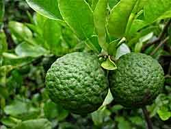 "Makrut lime, more commonly known as ""kaffir lime"" in the US. You can actually use the leaves of an orange tree as a substitute for makrut leaves in recipes, but it's not quite the same."