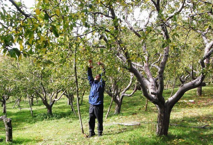 Autumn Apple Picking - Pelion - Greece