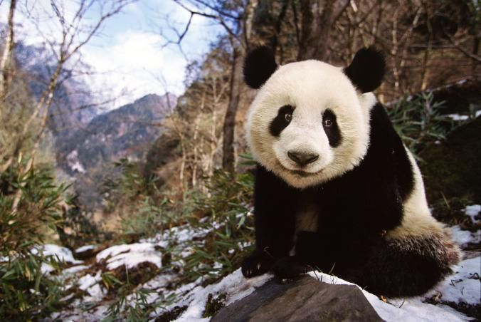 Picture of a Giant panda Sichuan China Wild Panda Population Up Dramatically in China, Government Says