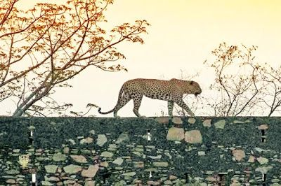Mount Abu The Abode: Leopards of Mount Abu