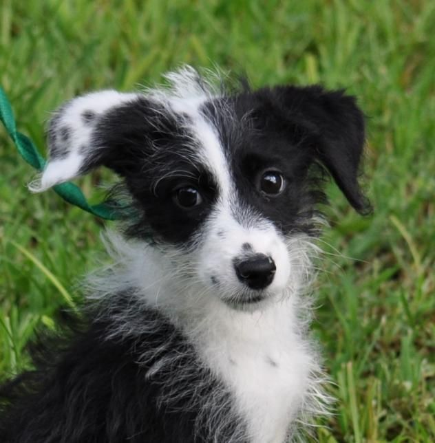 Adopted! Penny - Poodle/Border Collie mix - Orlando, FL. 3 months old